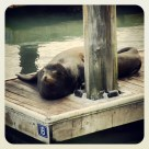 A lone seal waking from a deep slumber at Pier 39 at Fisherman's Wharf