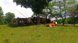 Bovina Valley cows relaxing on a hot day.