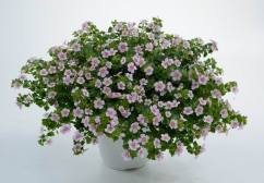 Bacopa Pink Heart