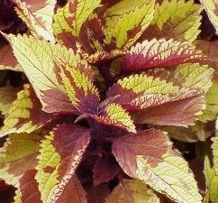 Coleus Pineapple