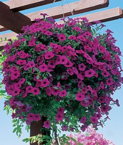 Wave Petunia Purple