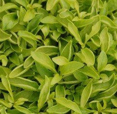 Alternanthera Yellow Green