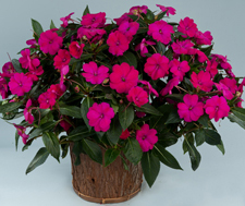 Sun Impatiens Sun Harmony Purple