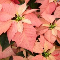 DaVINCI (Cinnamon w/ red speckles)