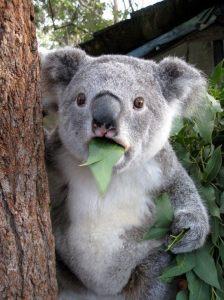 Koala étonné - Amazed Koala