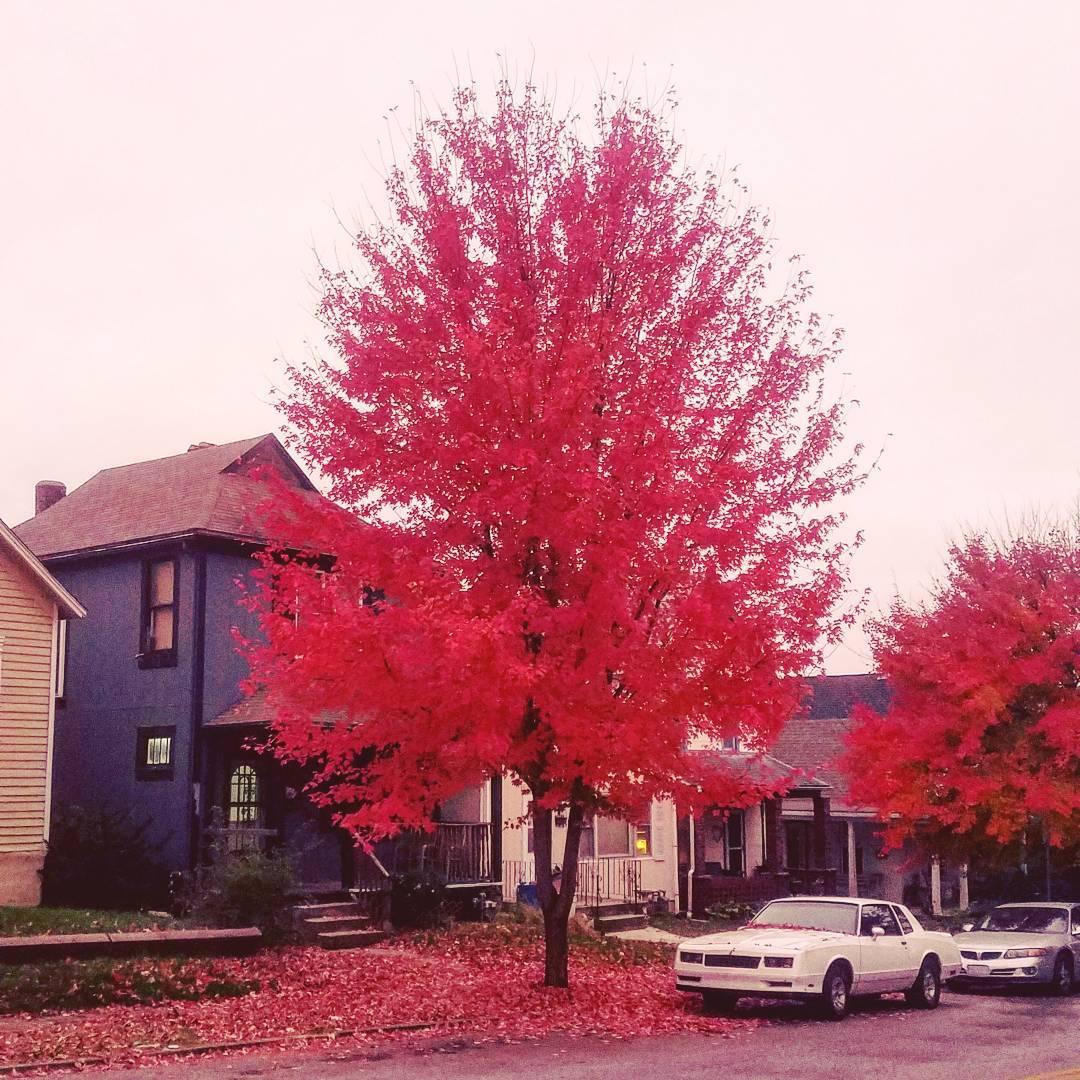 🍁🎈👠🏮🍎🌶️❤️ . . . . red 🍁 tree fall autumn seasons kc kck kcmo ks kansascity leaves leaf