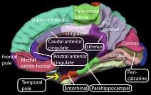 Rose-entorhinal-cortex