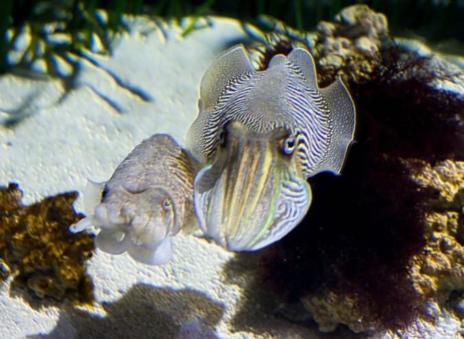 cuttlefish couple