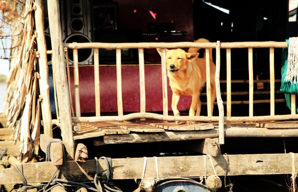Dog in a floating village in Cambodia.