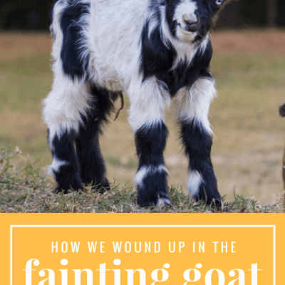 How we wound up in the Fainting Goat Business