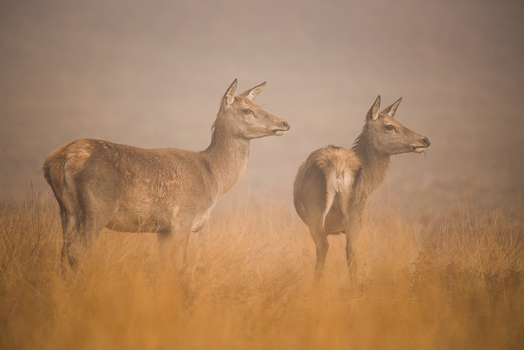 2 red deer hinds, bradgate park