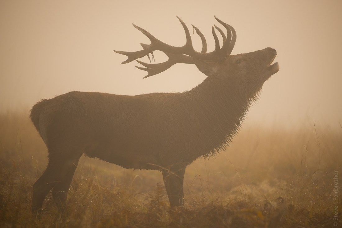 Large stag bellowing in mist, bradgate park