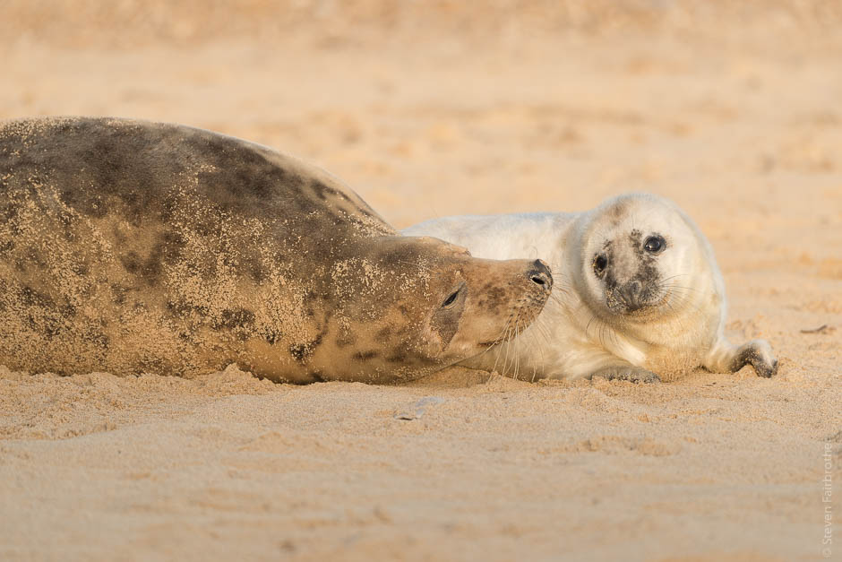 winterton-beach-seals-2016-02