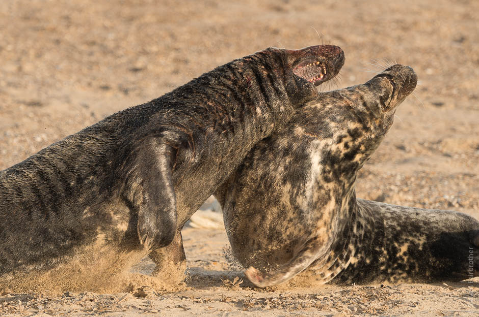 winterton-beach-seals-2016-04