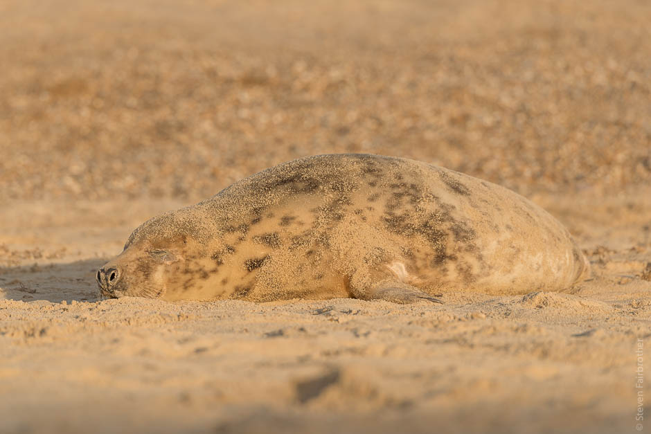 winterton-beach-seals-2016-05