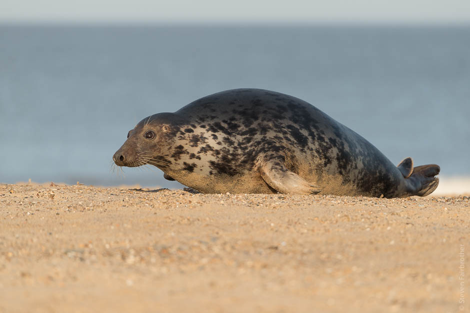 winterton-beach-seals-2016-06