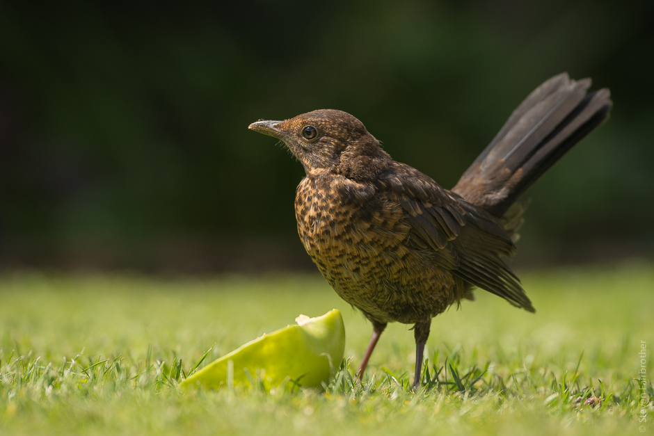 2017-rspb-garden-bird-watch-03