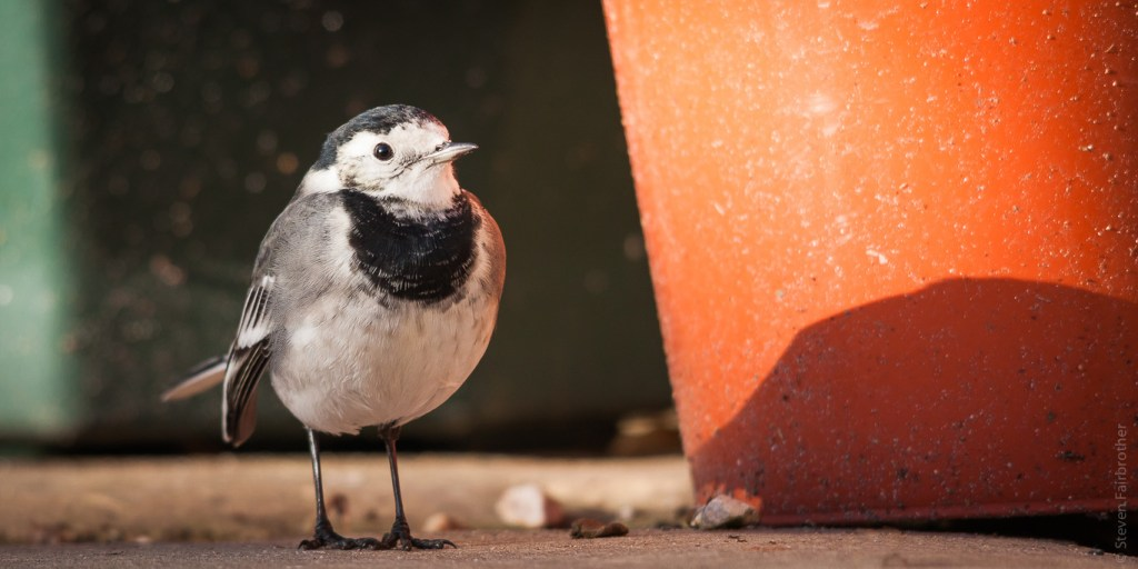 pied-wagtail-garden