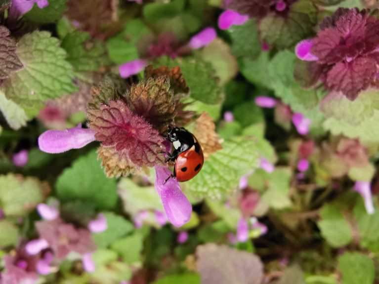 Chaines alimentaires Coccinelle