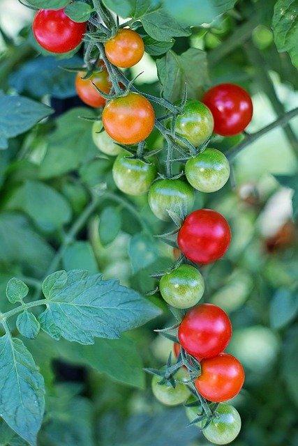Tomates cerises activité jardinage maternelle