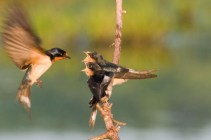 Barn swallows. Photo by Curtis Gibbens.