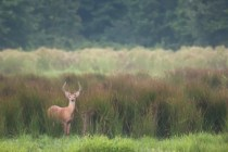 White-tail deer. Photo by Curtis Gibbens.