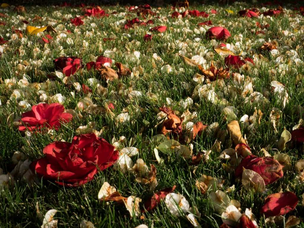 Camelia blossoms and seeds on grass, close up
