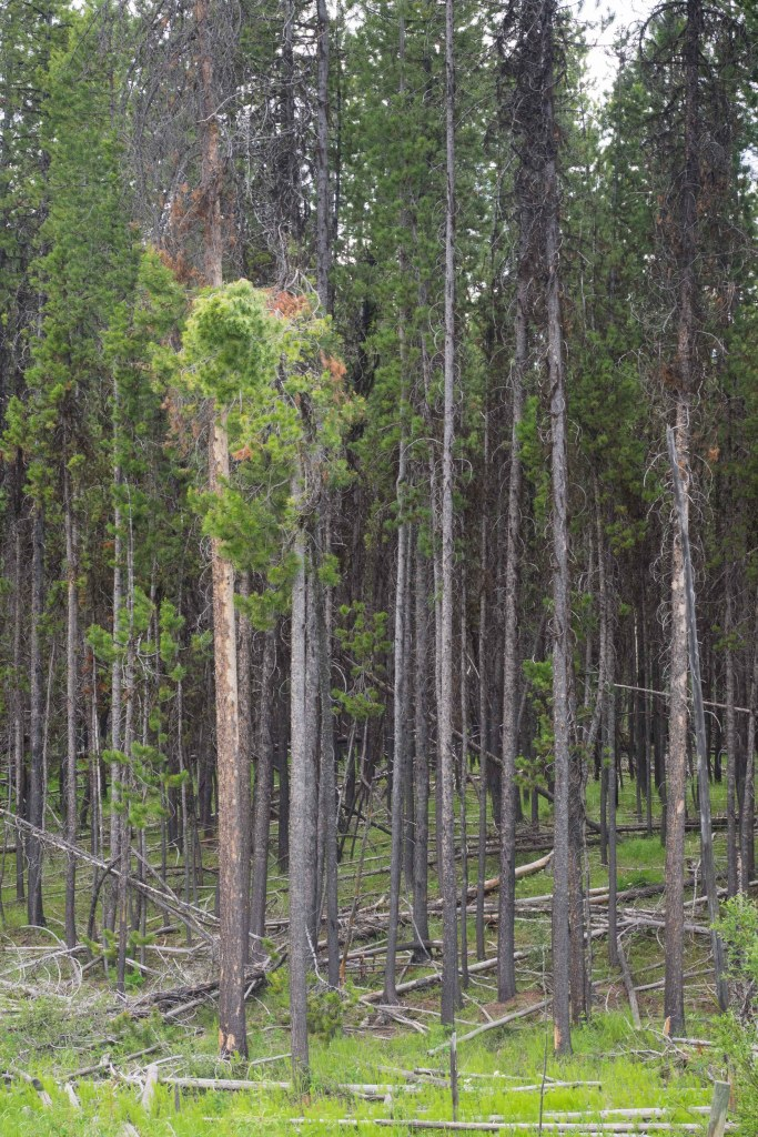 Lodgepole pine stand west of Princeton, BC