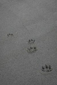 closeup of four footprints from dog on sand at beach