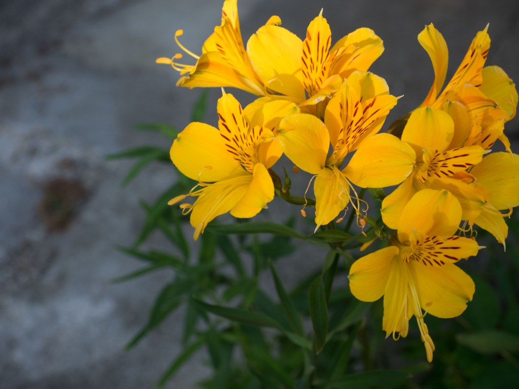 Yellow peruvian lillies