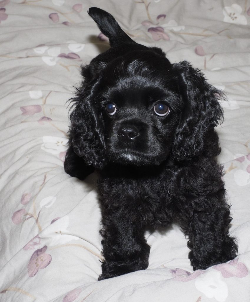 Black American Cocker spaniel puppy named Stevie, standing on a bed