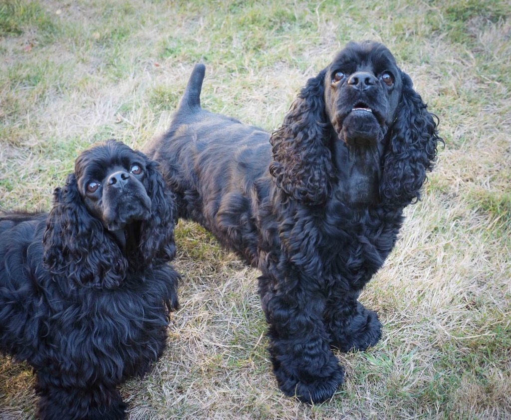 Two black American Cocker spaniels look up inquisitively