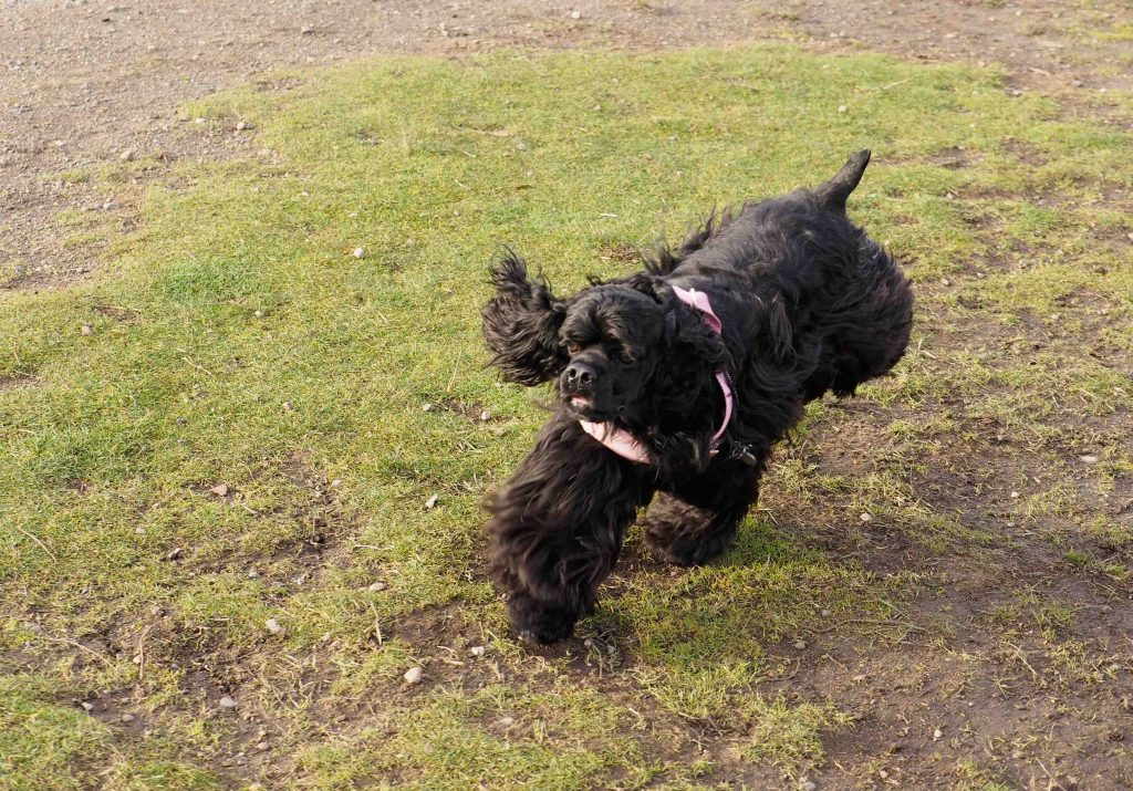 Black American Cocker Spaniel Stevie running on grass in the sunshine