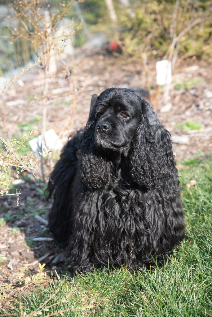 Black american cocker spaniel outdoors