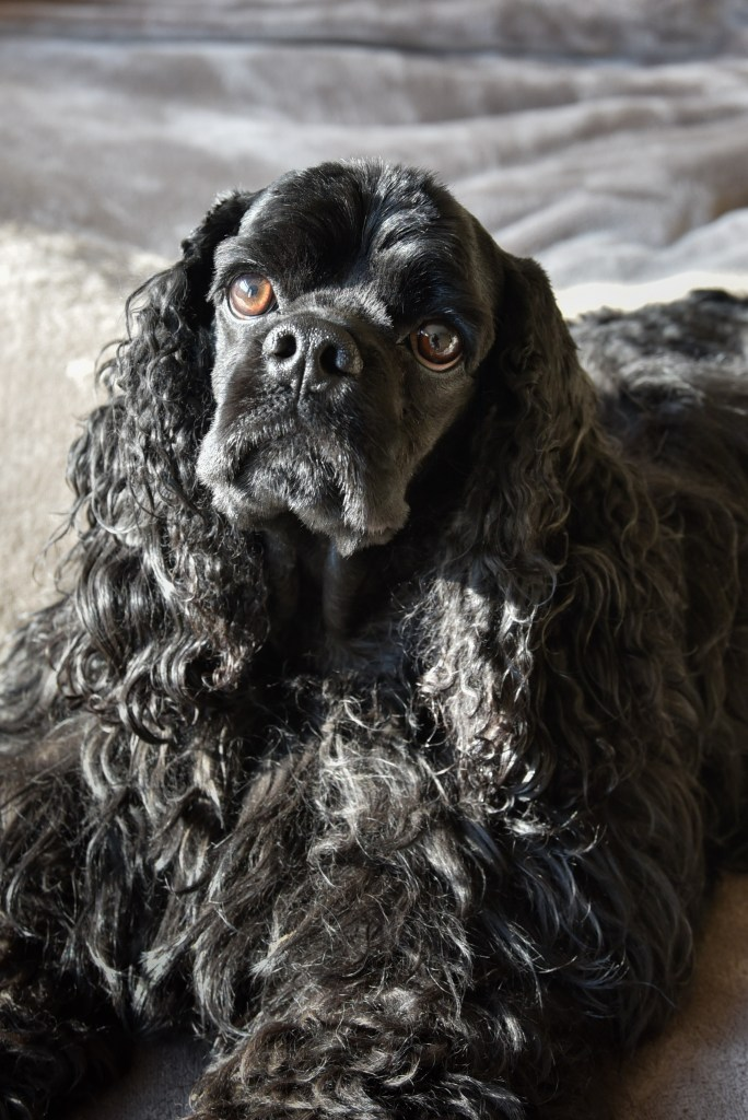 American Cocker Spaniel Stevie