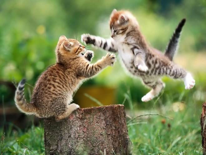 cats-fighting-animal-wallpaper