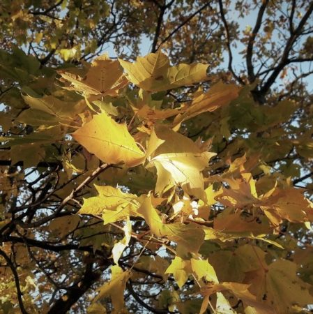 Image of sunlit autumnal leaves illustrating the Fairisle article Qualities of succesful change