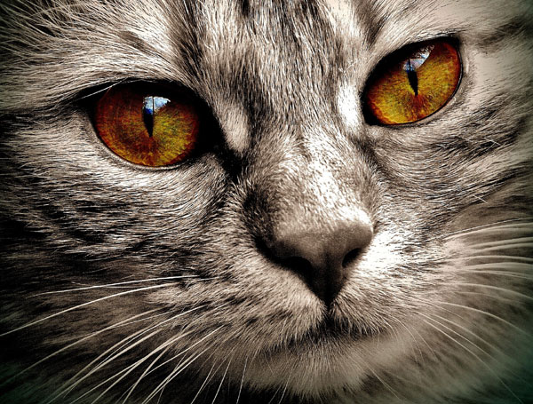 Most Expensive Cat Breeds (12 Breeds That You Can Afford)