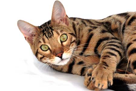 Bengal cat: hybrid breed
