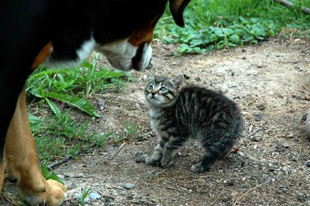 How to introduce a hyper dog to a kitten