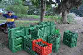 boxes of freshly picked avocados wait to be loaded