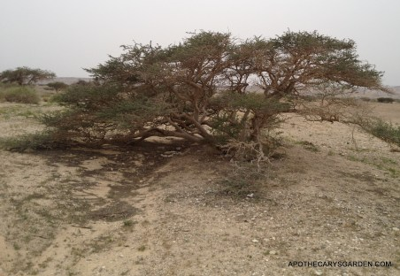 """Desert Acacia in a """"Wadi"""" between the Dead Sea and Eilat"""