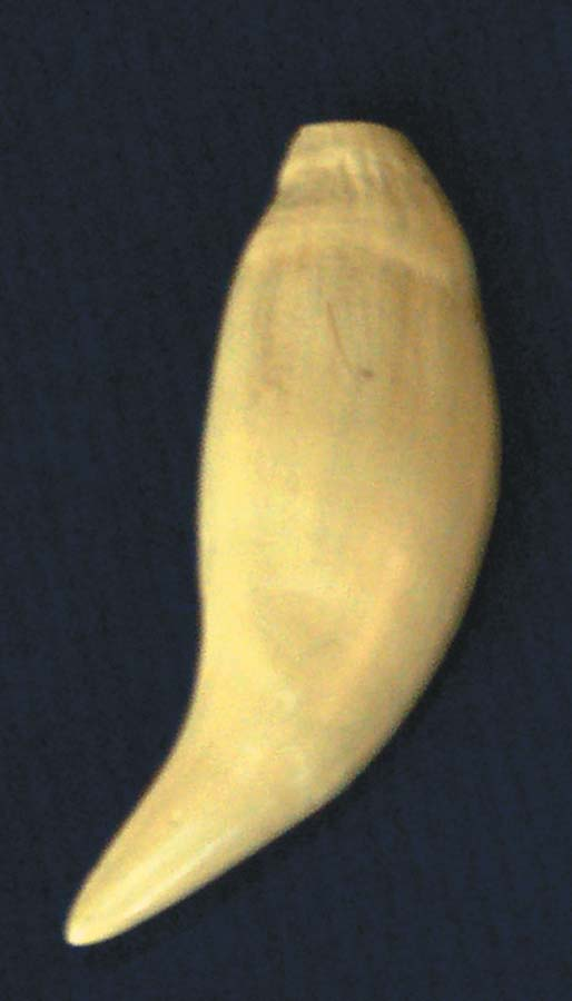 Bear Tooth Replica   3-219