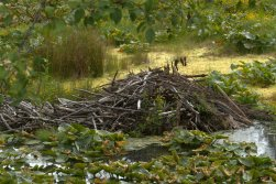 Beaver Lodge by Neal Maine.