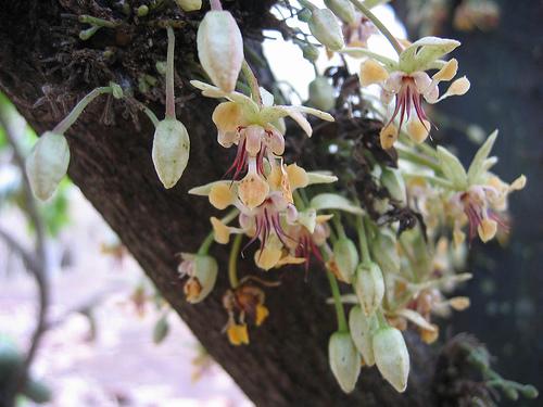 fleurs de cacao