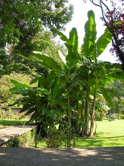 les bananiers dans un jardin