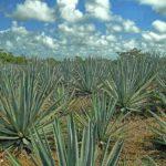 agave tequilina pour la fabrication du sucre d'agave