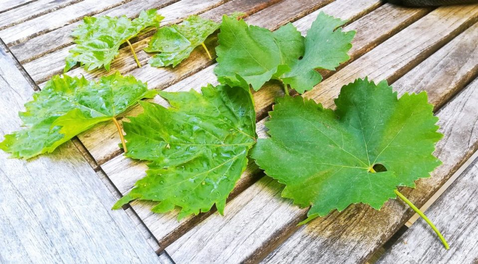 feuille de vigne pour faire des feuilles de vignes farcies au riz