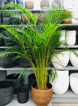 kentia plante dépolluante