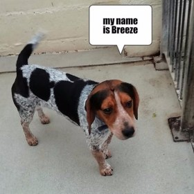 breeze beagle